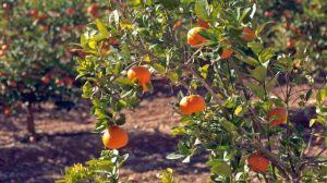 El Consell confirma en el segundo aforo una reducción del 19,6% en la cosecha de cítricos