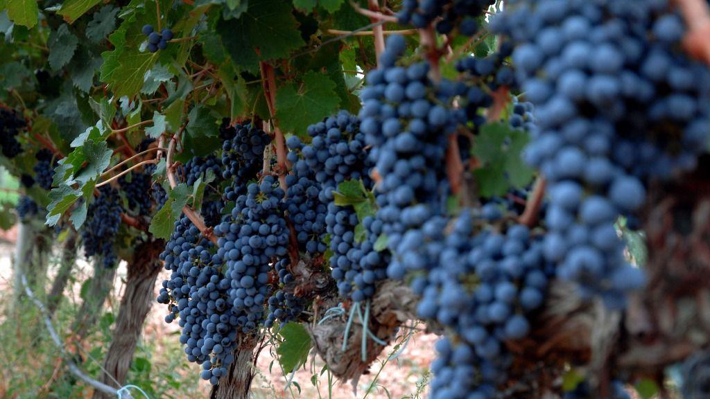 La superficie de viñedo ecológico crece más de un 13% en año y medio