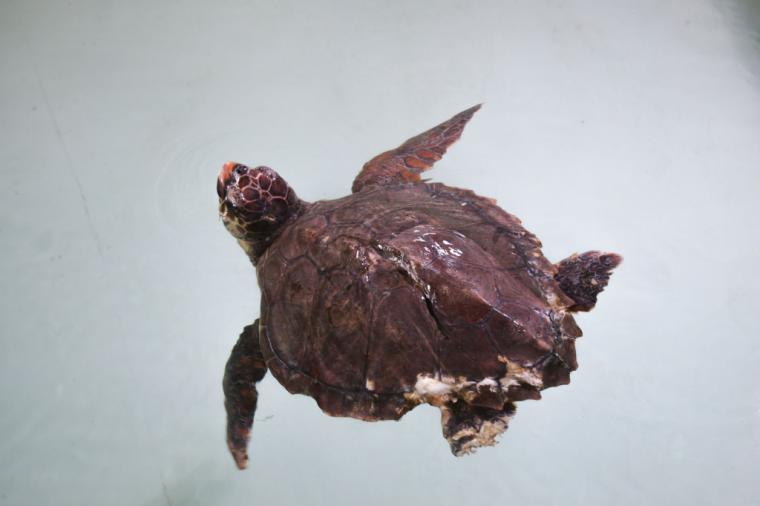 'Alerta tortuga', una iniciativa para concienciar sobre la biodiversidad y en favor de un océano más limpio